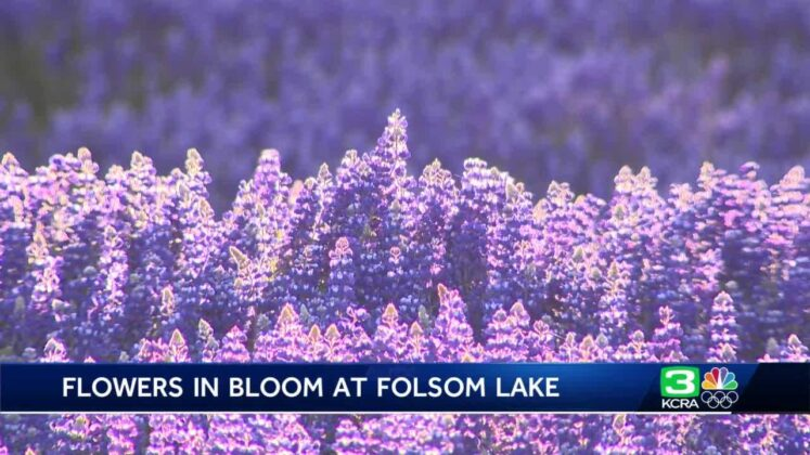 Take a look at this 'rare instance' of lupine superbloom