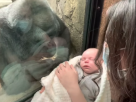 Watch: Baby boy and mother fascinate gorilla mom at Franklin Park Zoo