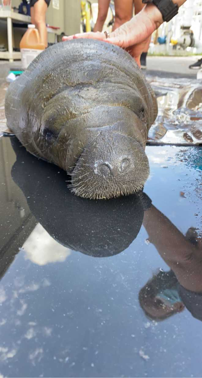 rescued orphan manatee