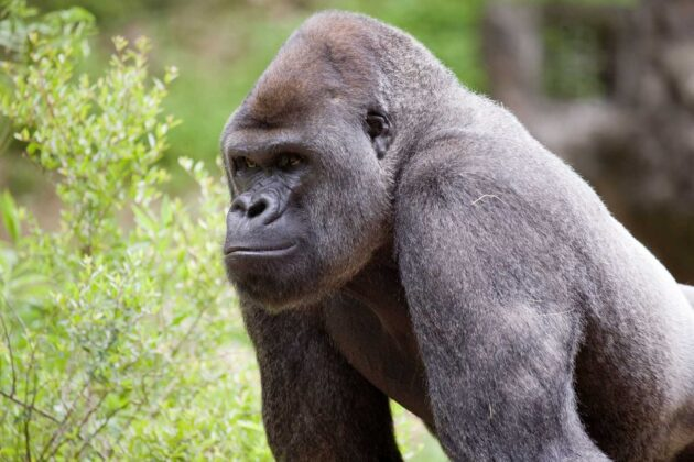 Gorillas at Georgia zoo being treated for COVID-19