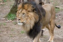 Lions and tigers test presumptive positive for COVID-19 at DC's National Zoo