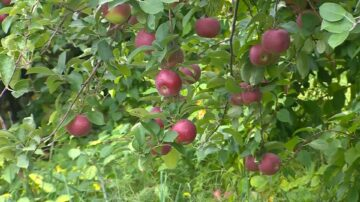 Here's why this year's apple crop has been super abundant